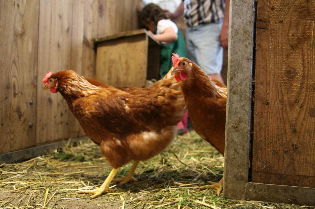 Eier aus dem Hühnernest holen Kinderbauernhof Ierzerhof