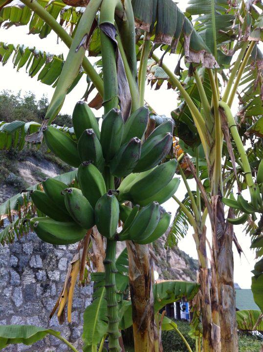 unsere bananenpalme auf der terrasse labranda rocca. Black Bedroom Furniture Sets. Home Design Ideas