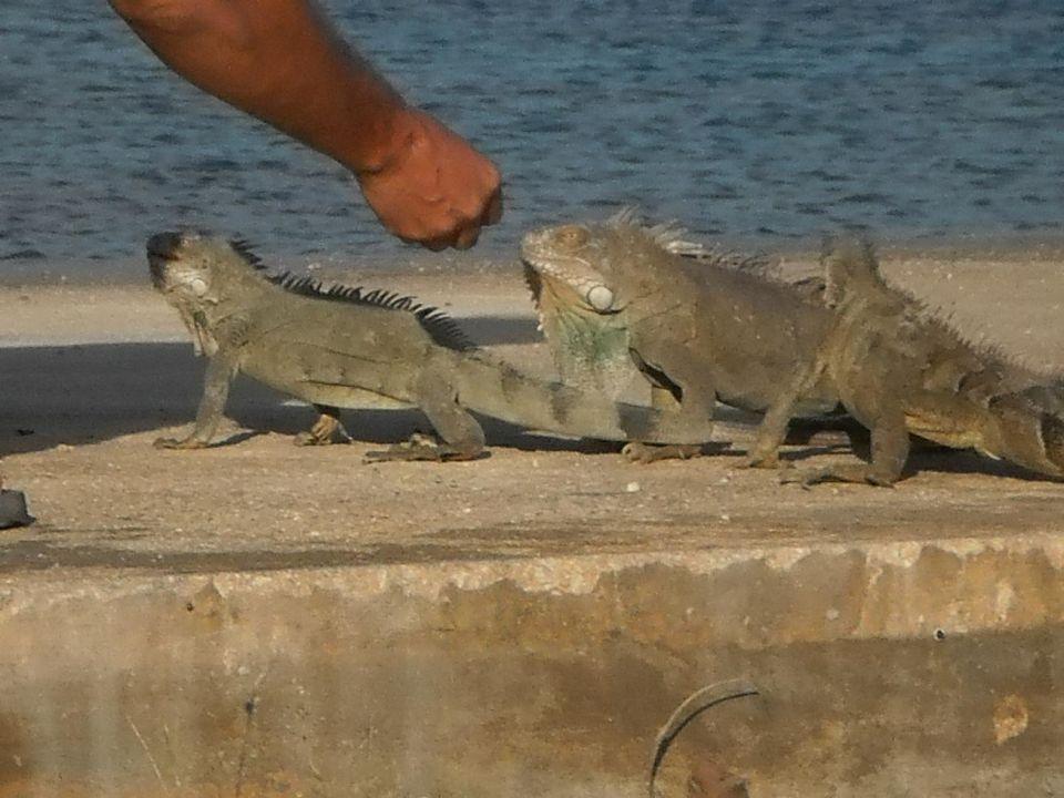 Leguane am Strand beim Frühstück Hotel Plaza Resort Bonaire