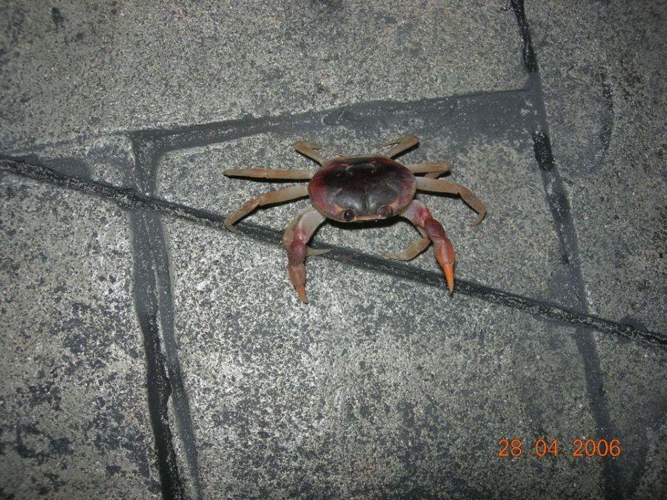 Sebastian die Krabbe Grand Bahia Principe Punta Cana in Bavaro