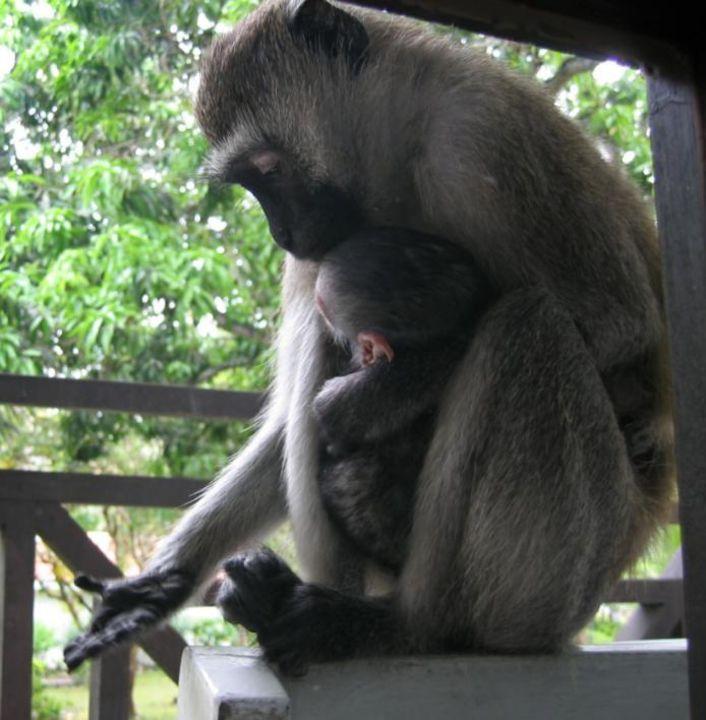 Affe mit Jungem auf Balkon Hotel Diani Sea Resort