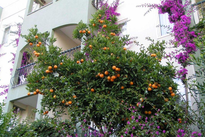 Orangenbaum in der Anlage Hotel Gardenia Beach