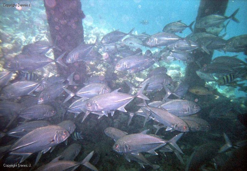 Schnorcheln am Steg an der Rezeptionsseite Adaaran Select Meedhupparu Island Resort