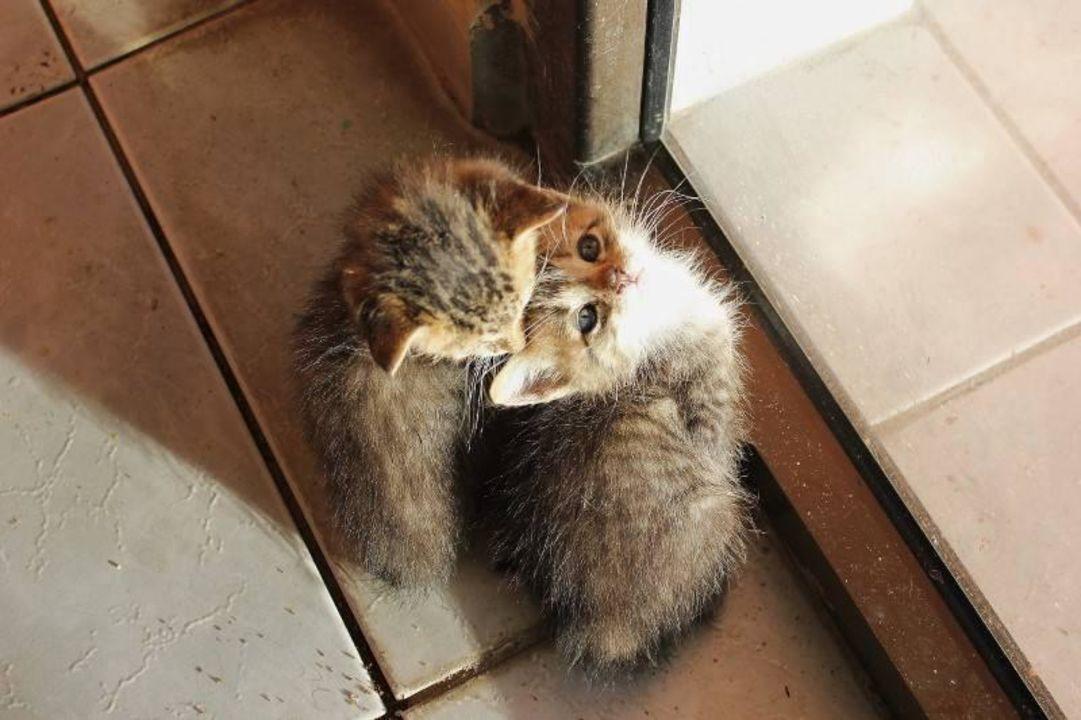 Die Hauskatzen Gran Caribe Faro Luna