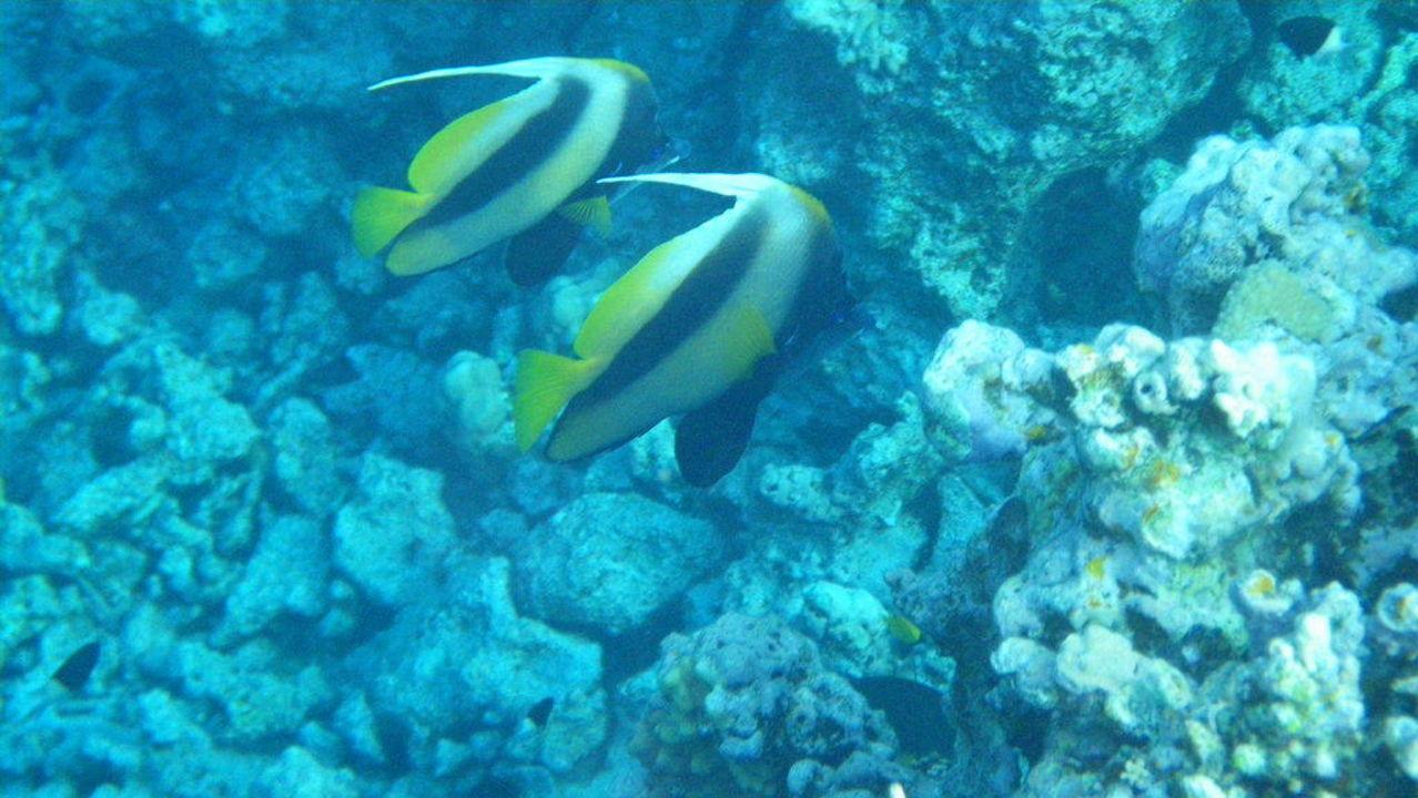 Rotmeerwimpelfisch Makadi Palace