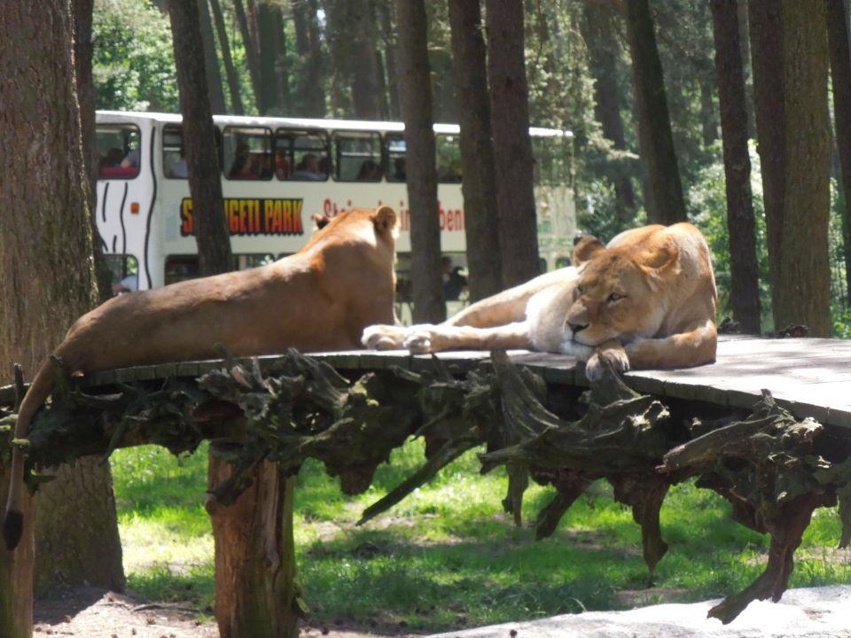 bewohner der safari park serengeti park hodenhagen hodenhagen holidaycheck niedersachsen. Black Bedroom Furniture Sets. Home Design Ideas