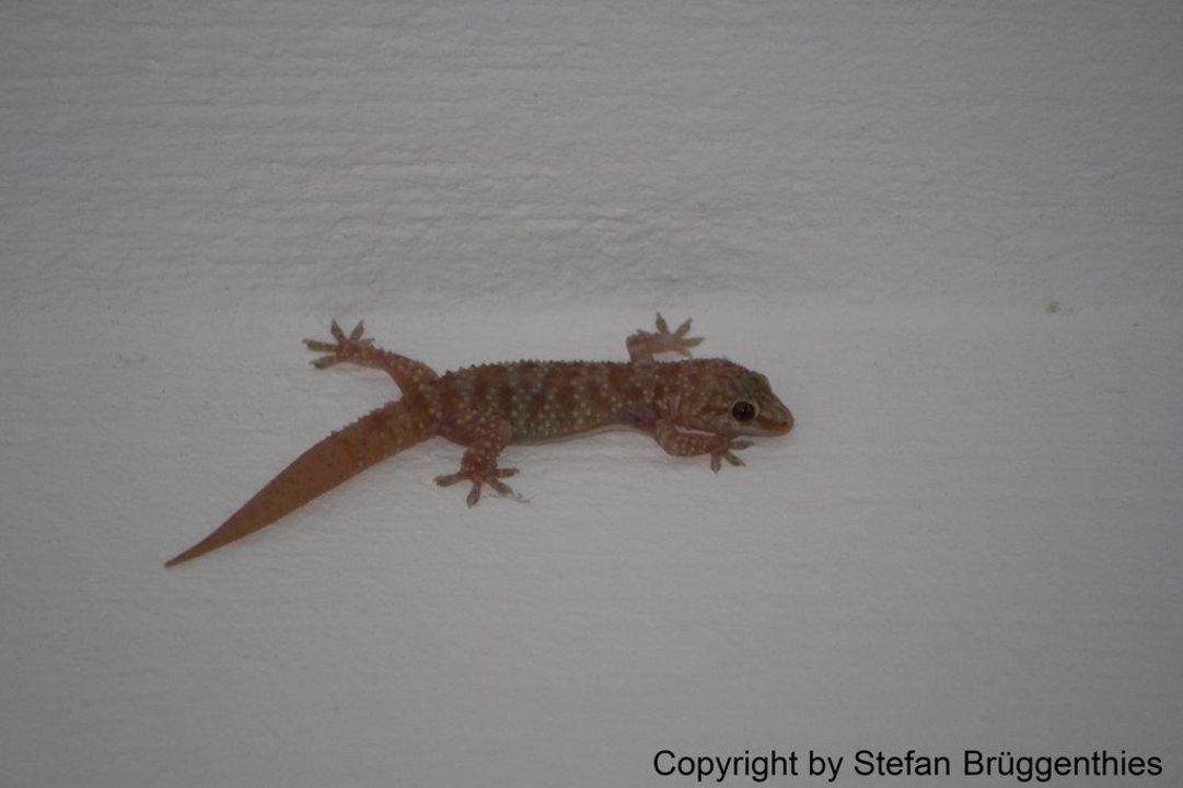 Ein Gecko als abendlicher Besucher im Hausflur Gregory Studios