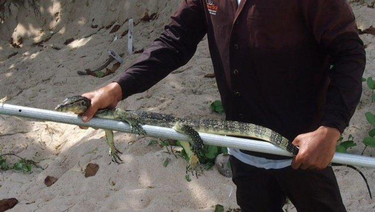 """Erschöpfter Leguan wurde aus dem Meer """"gerettet"""" Samui New Star Resort"""