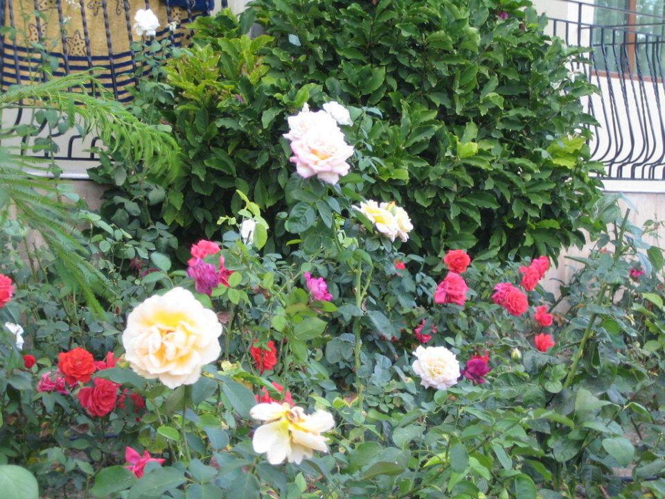 Розы у входа в отель Hotel Atlant