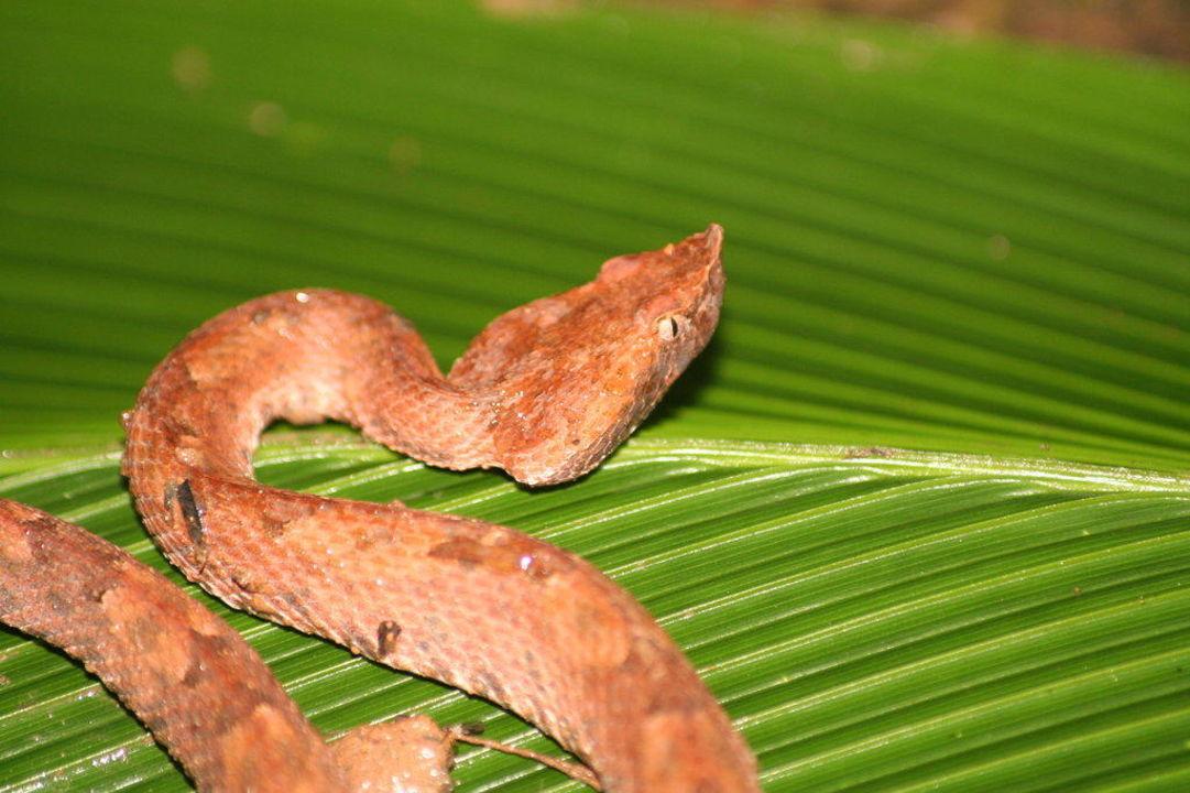 Viper im Regenwald Hotel Laguna del Lagarto Lodge