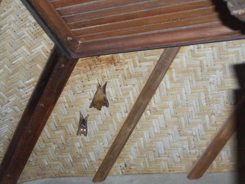 Dauergäste auf unserem Balkon Puri Santrian
