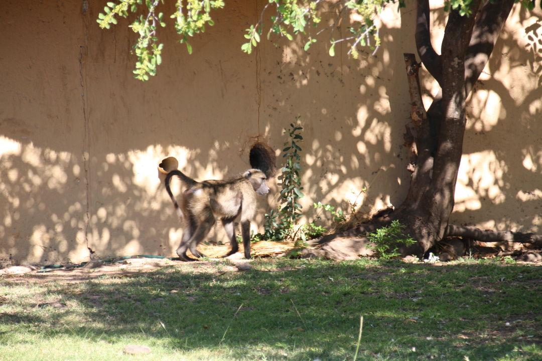 Einer von vielen Affen,frühmorgens wird rumgetobt  Bongani Mountain Lodge