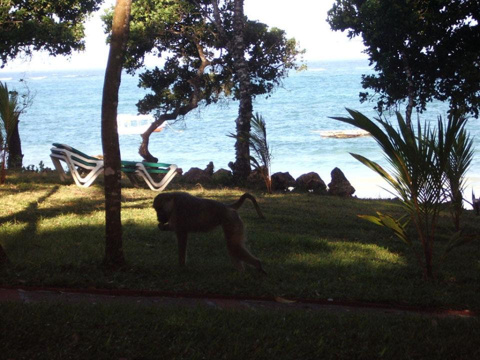Pavian im Baobab Baobab Beach Resort & Spa