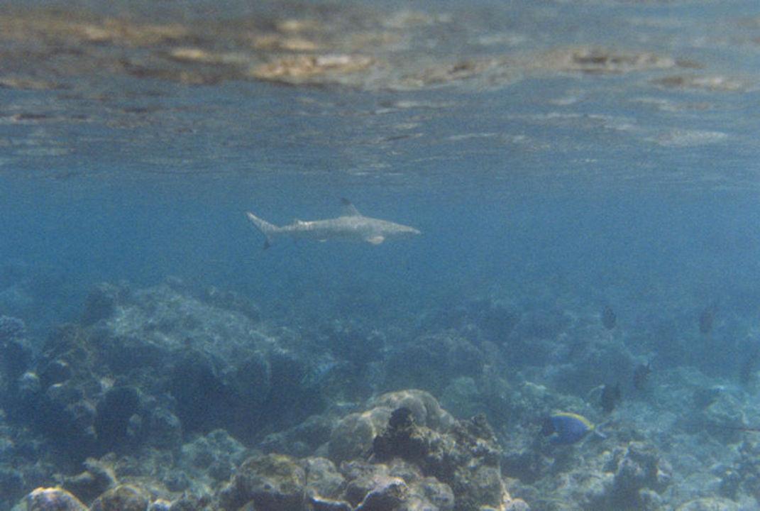 Großer Schwarzspitzenriffhai am Hausriff von Athuruga Diamonds Athuruga