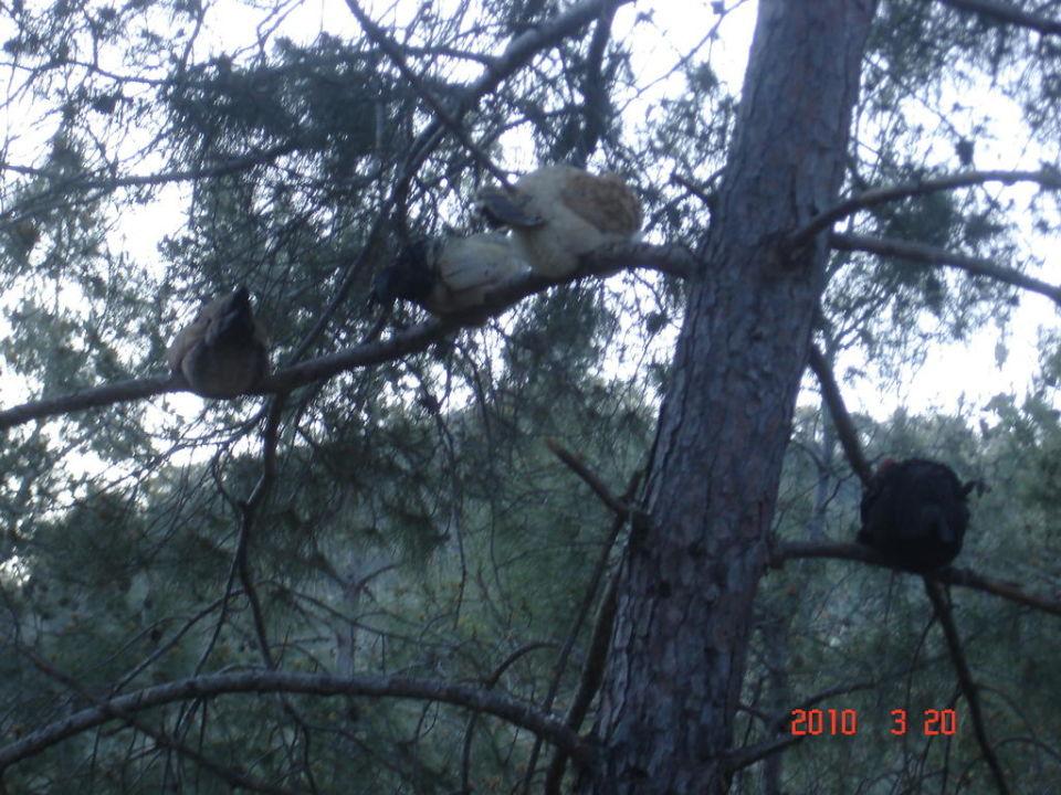 Hühner auf dem Baum Amara Dolce Vita Luxury