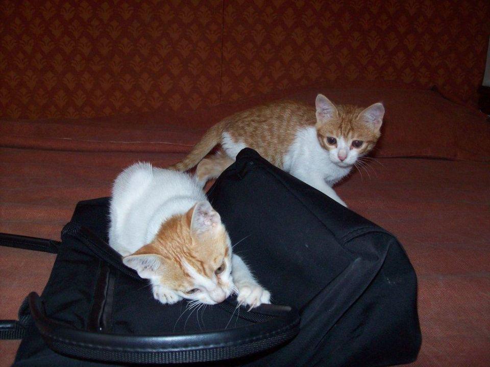 Die Katzen fanden meine Tasche toll Festival Shedwan Golden Beach Resort (Vorgänger-Hotel - existiert nicht mehr)