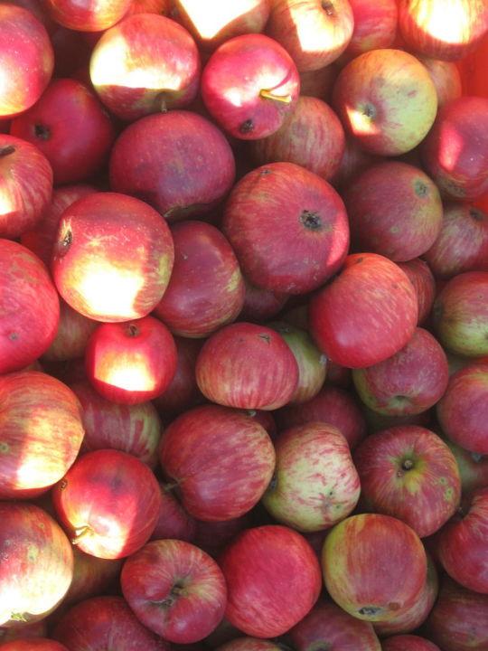 Apfelernte 2010 Apartments Jahreszeitenhof  (geschlossen)