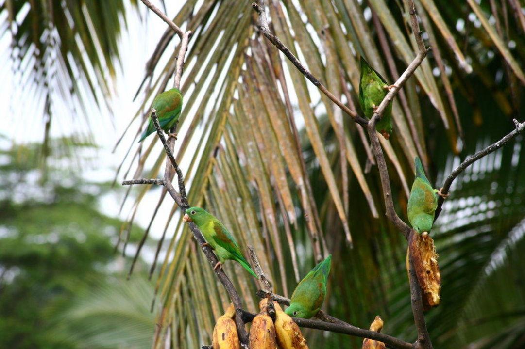 Papageienbande auf der Lodge Hotel Laguna del Lagarto Lodge