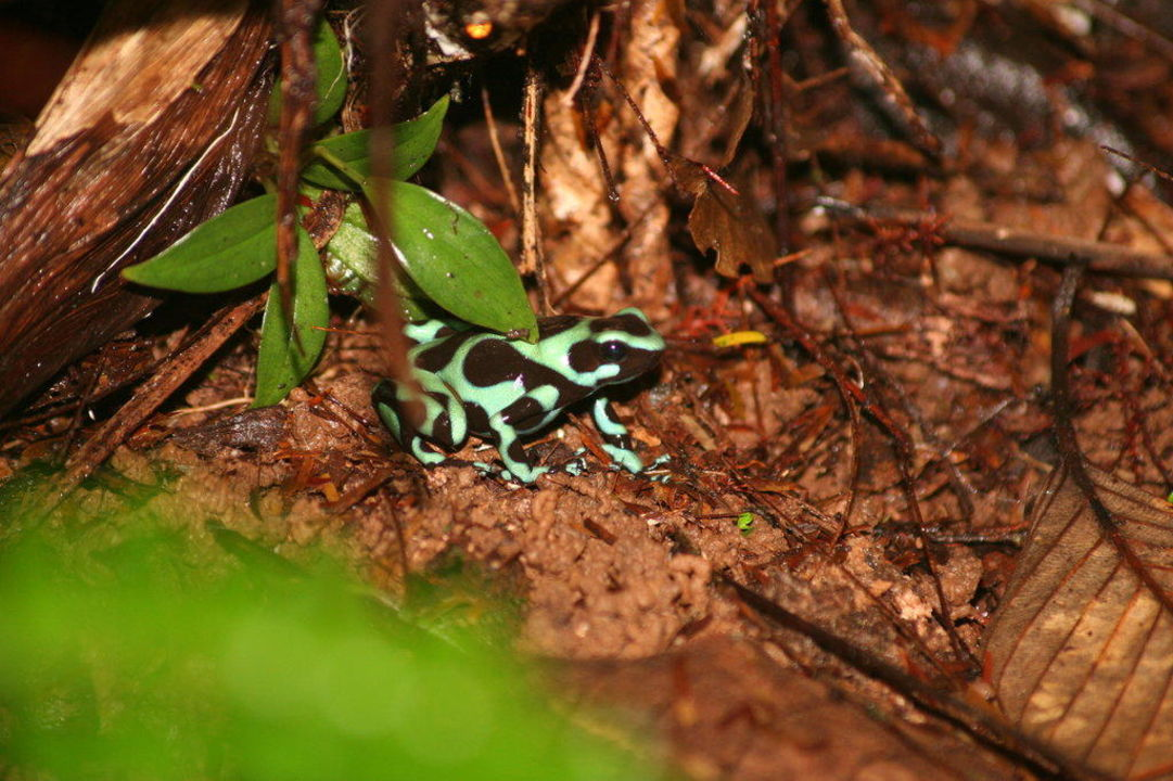 Frosch im Regenwald Hotel Laguna del Lagarto Lodge