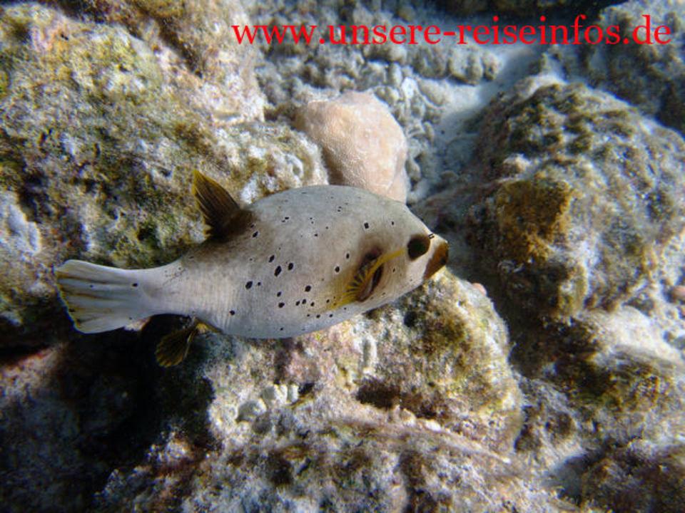 Kugelfisch Fihalhohi Island Resort
