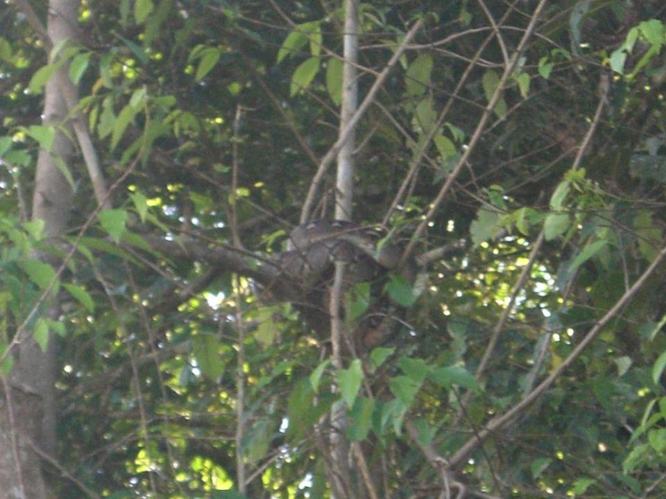 Schlange Bilit Rainforest Lodge