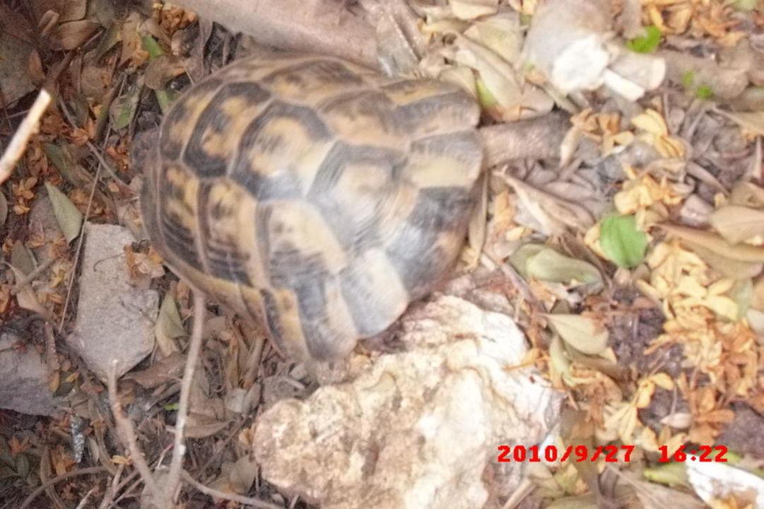 Diese Schildkröte ist unsere Nachbarin gewesen Limak Arcadia Hotel & Resort