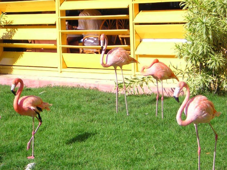 Amerikanische Flamingos IBEROSTAR Hotel Dominicana