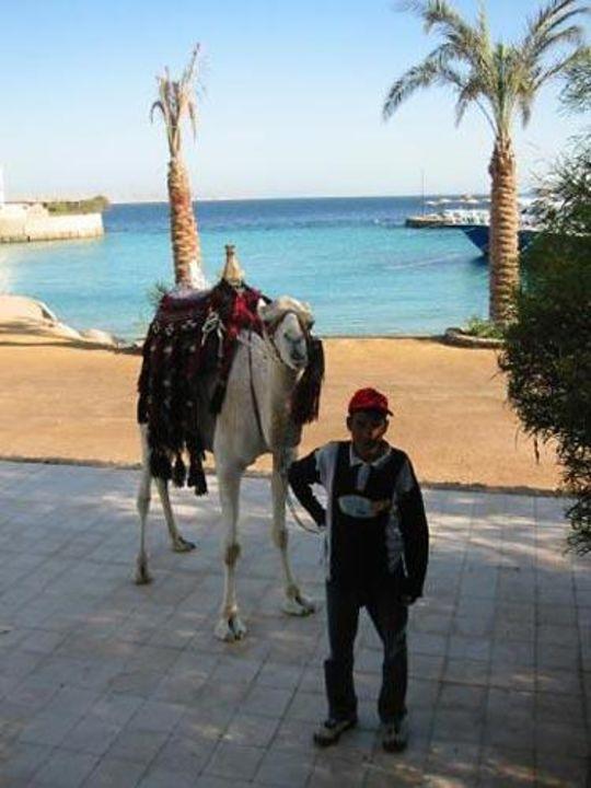 Ein Kamel im Iberotel Arabella Arabella Azur Resort