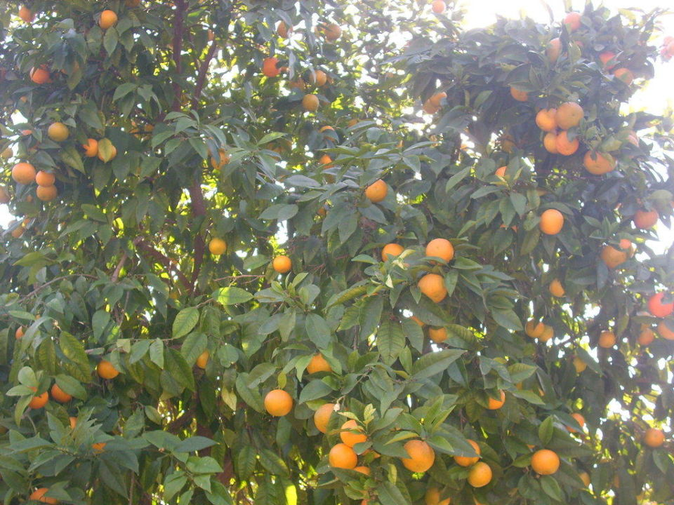 Orangen im Garten Hane Hotel