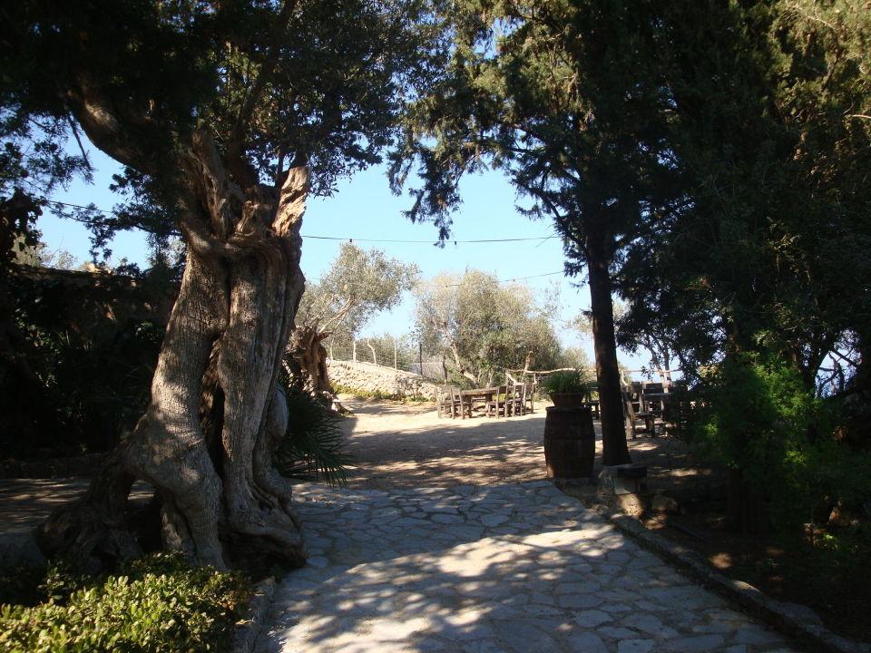 Uralte Olivenbäume Hotel Sa Pedrissa