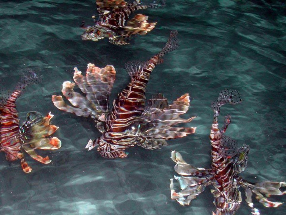 Sehr viele Rotfeuerfische kommen am Abend Reef Village @ Reef Oasis Beach Resort Hotel  (existiert nicht mehr)