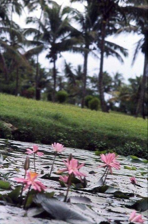 Der Teich mit den Lotusblüten Hotel Naviti Resort