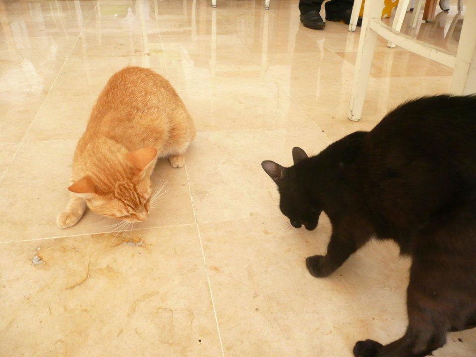 Katzen im Restaurant Hotel Shalimar