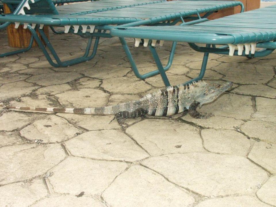 ein fast ausgewachsener Leguan am Pool Barceló Tambor