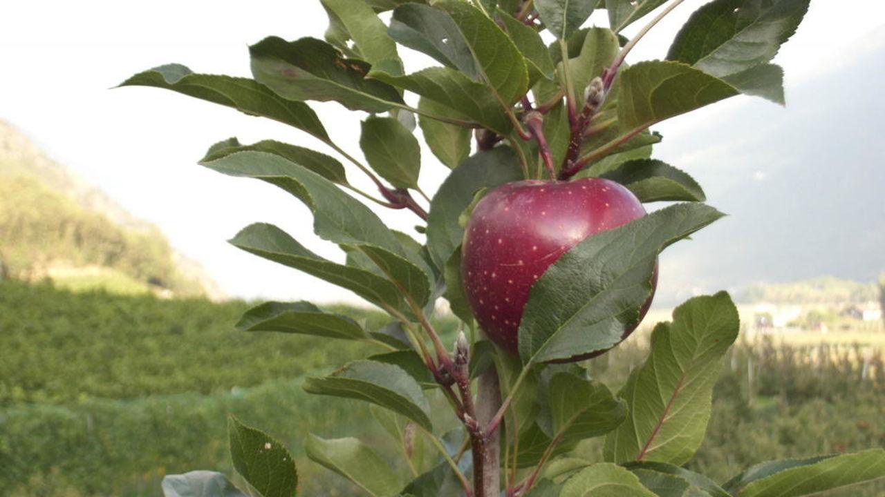 Der letzte Apfel Oberbrunnhof Ferienwohnungen