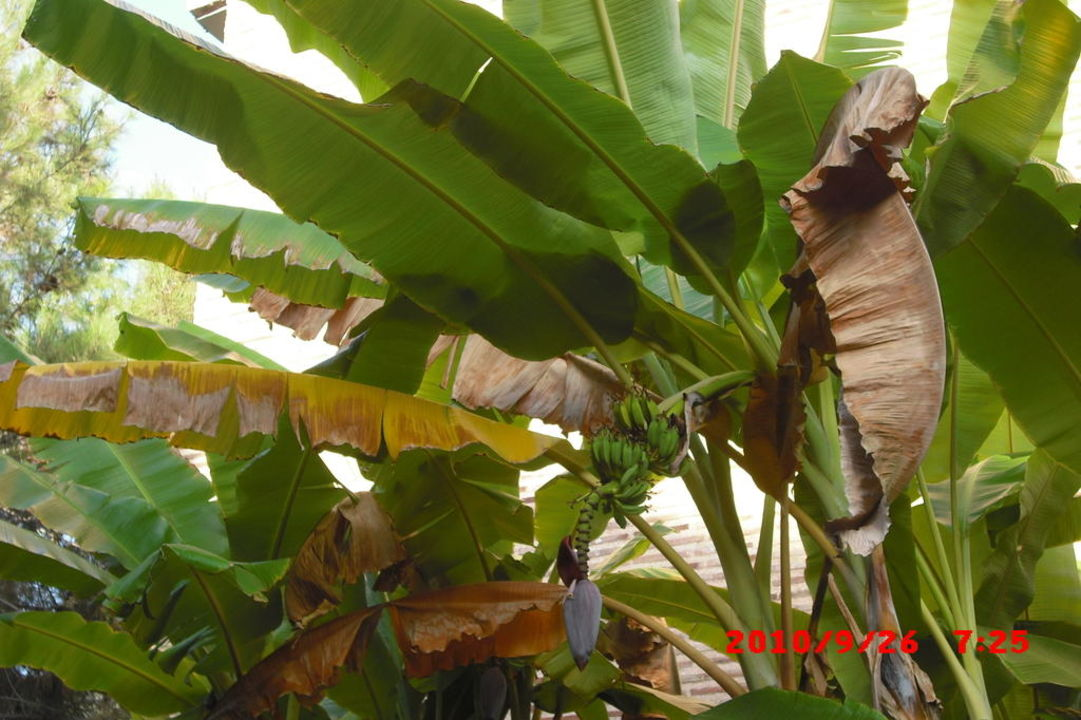Bananenpalme Limak Arcadia Hotel & Resort