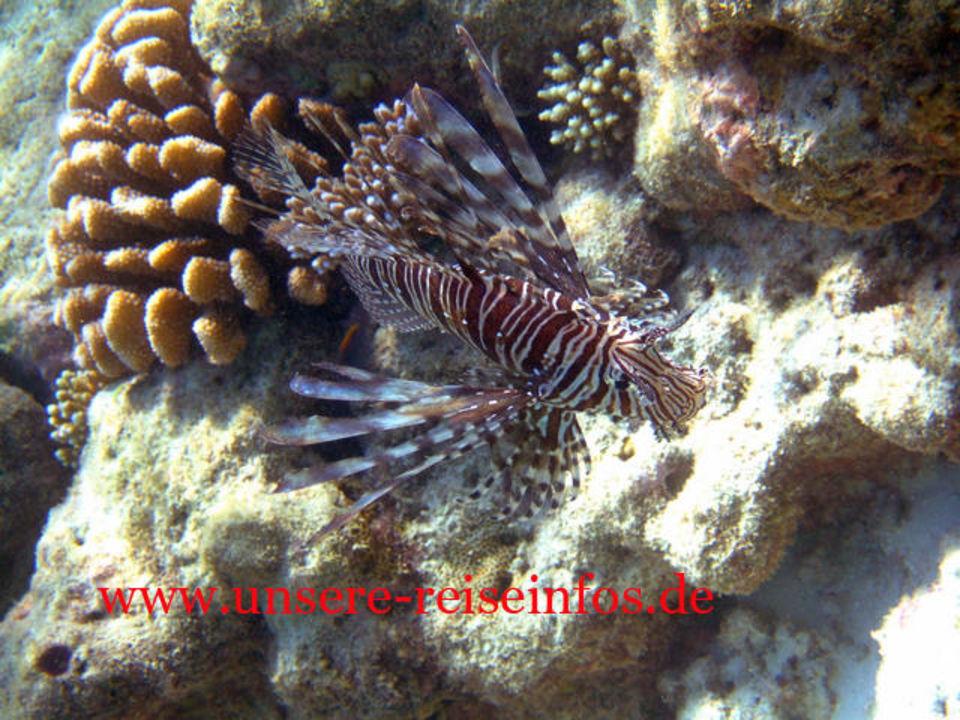 Rotfeuerfisch 2 am Hausriff Fihalhohi Island Resort