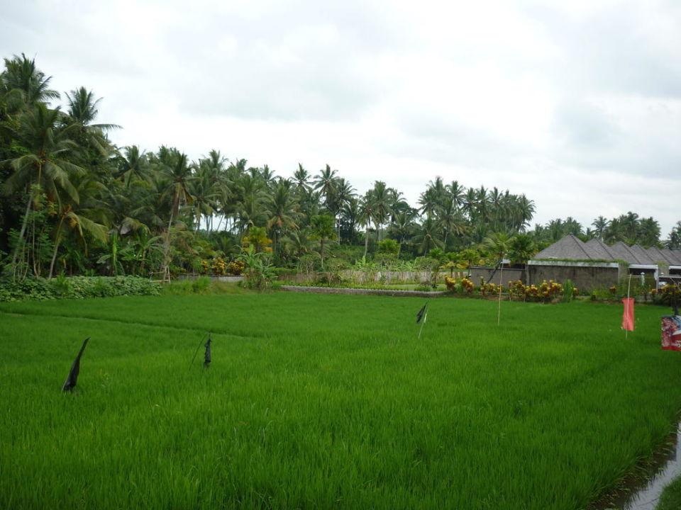 Reisfeld zwischen den beiden Anlagen Furama Villas & Spa Ubud