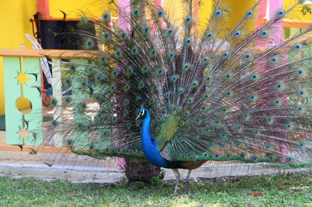 Pfau auf der Gartenseite Hotel Grand Pineapple Beach Negril