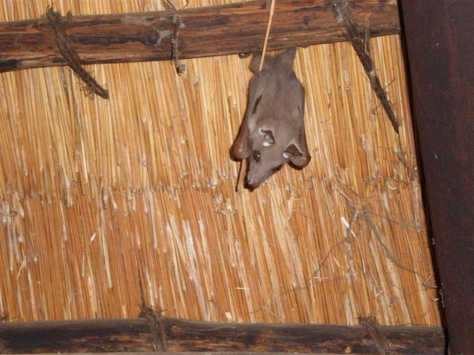 Kleine Fledermäuse Hotel Restcamp Skukuza