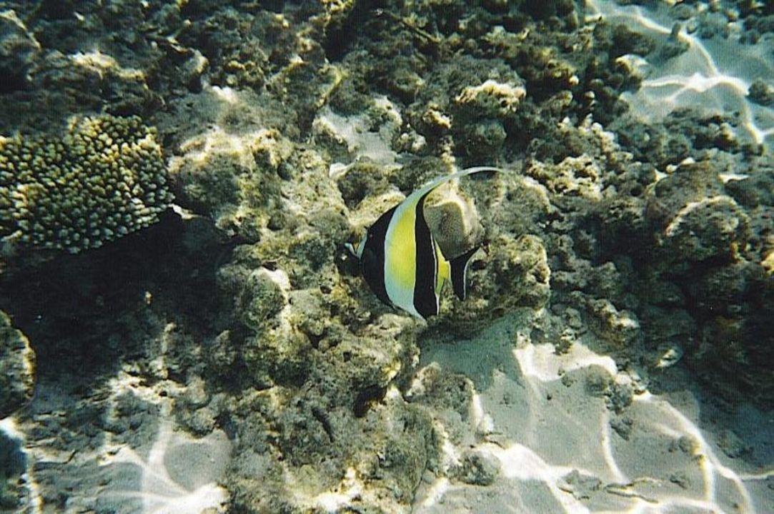 Halfterfisch Biyadhoo Island Resort