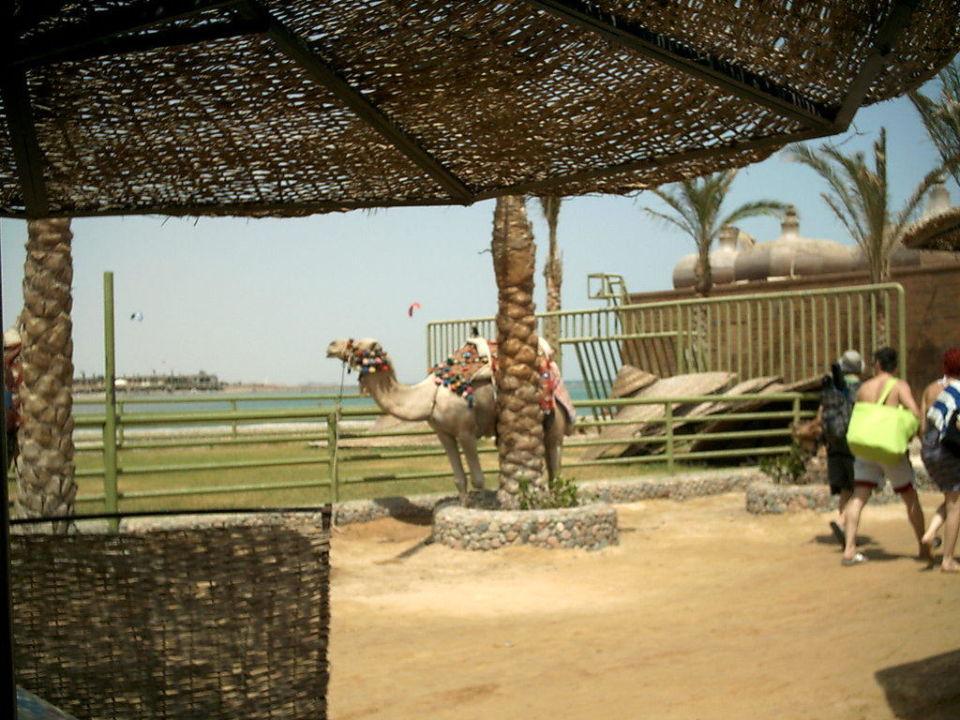 Kamel am Strand Hawaii Riviera Aqua Park Resort