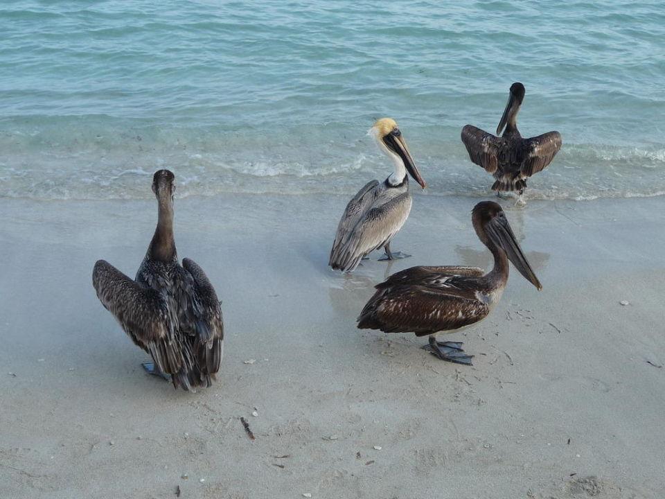 Pelikane am Strand Iberostar Tainos