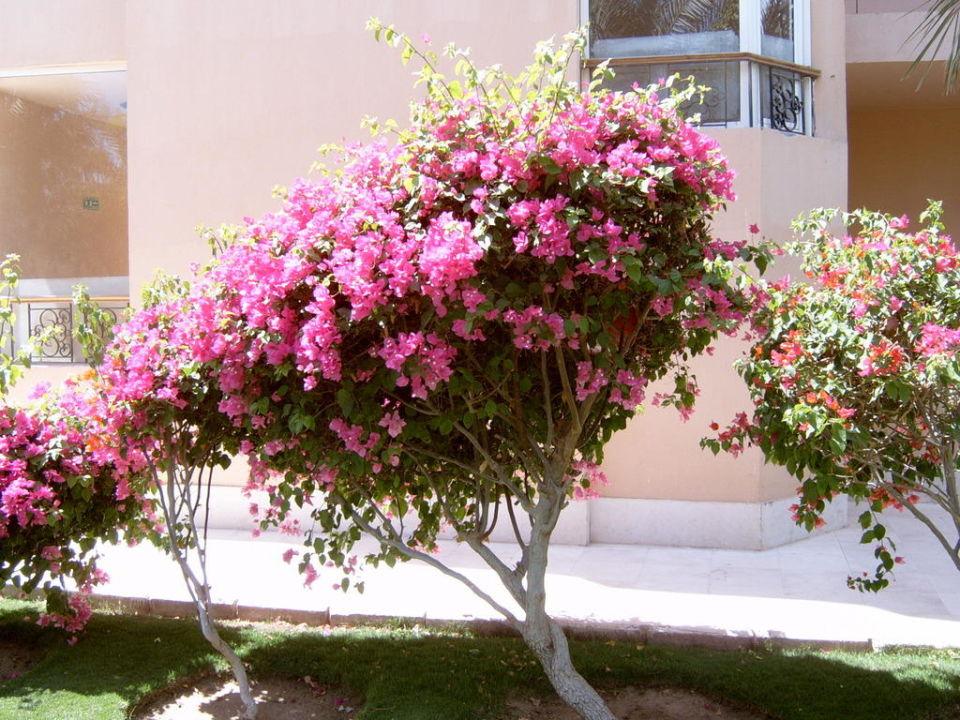 Schöne Blumen Im Garten Siva Grand Beach Hurghada Holidaycheck
