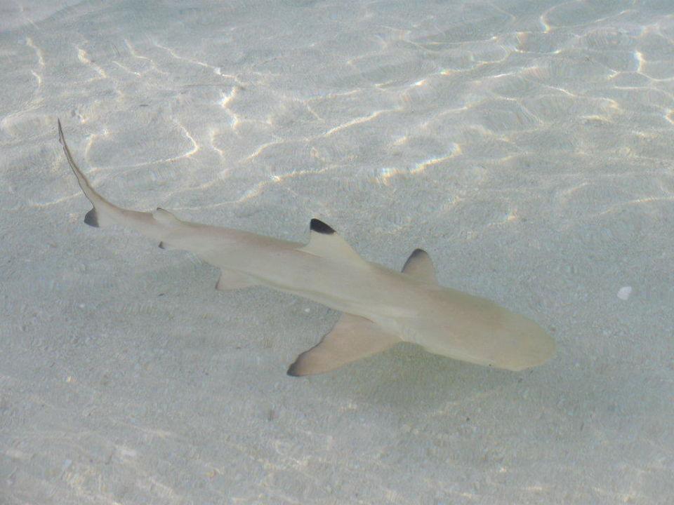 Schwarzspitzenriffhai am Strand Kuramathi Maldives