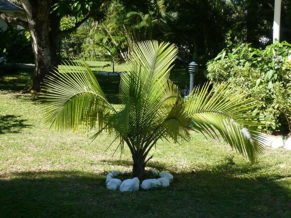 Gartenbepflanzung Hotel Royal Decameron Club Caribbean