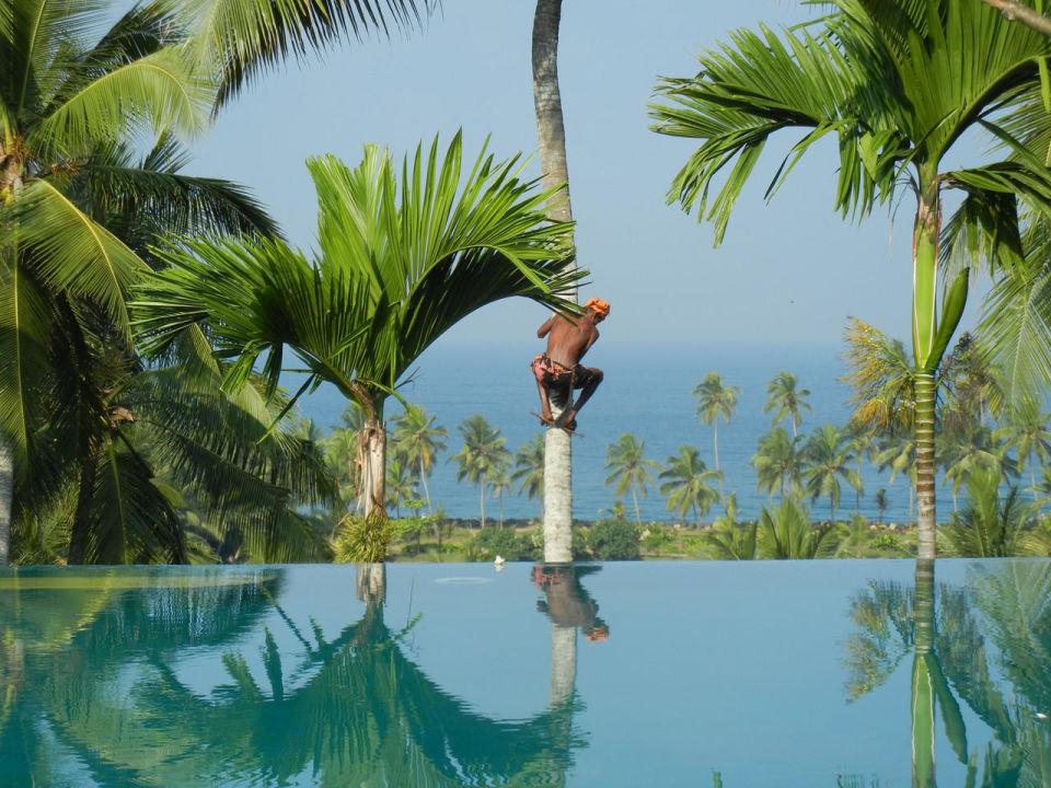 Die Kokosnüsse werden geerntet Hotel Vivanta by Taj Kovalam
