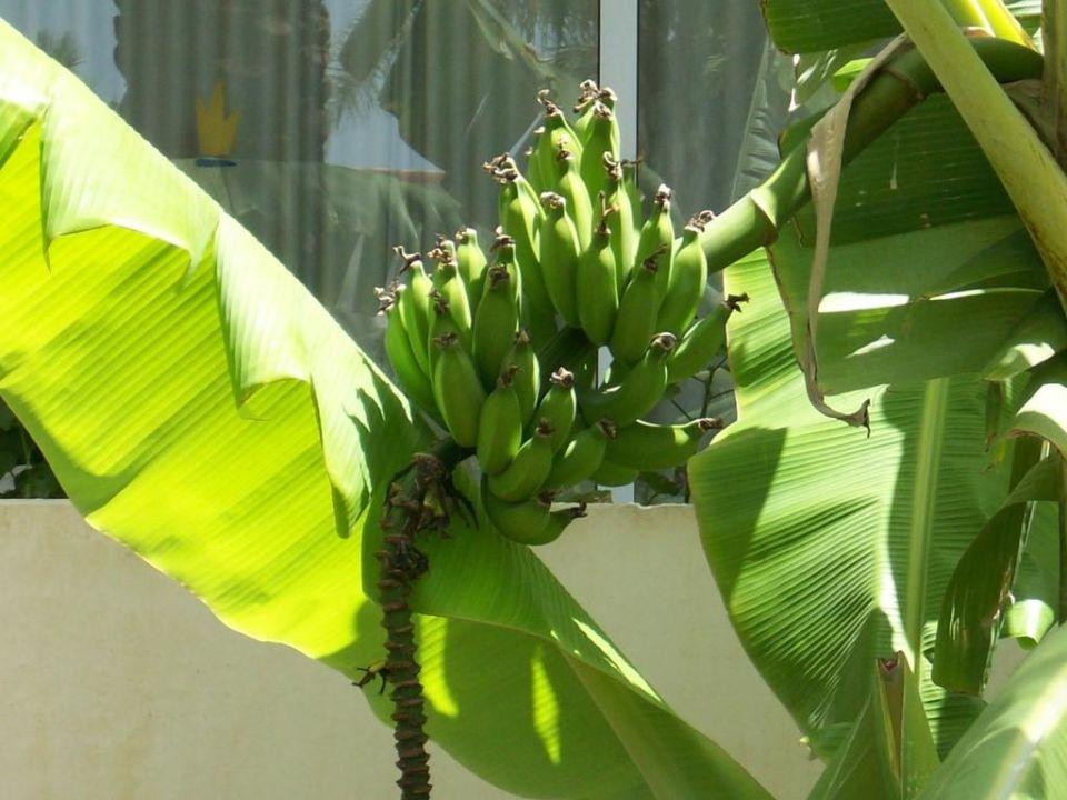 bananen wachsen in der gartenanlage tabaiba princess maspalomas holidaycheck gran canaria. Black Bedroom Furniture Sets. Home Design Ideas