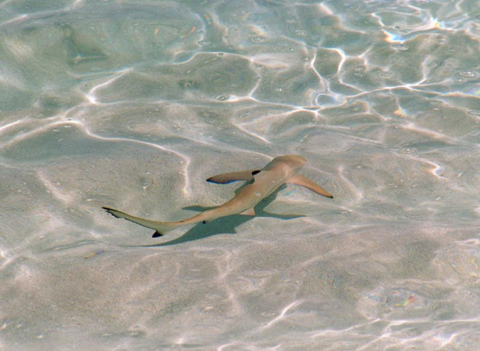 Schwarzspitzenriffhai in der Lagune von Athuruga Diamonds Athuruga
