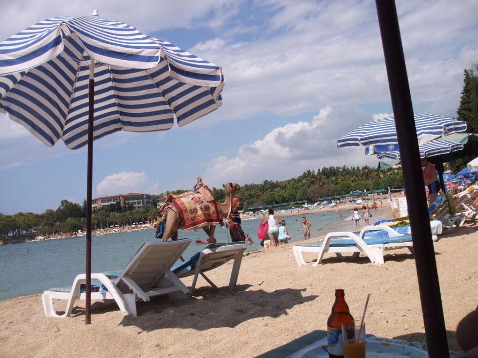 Kamel am Strand My Kolibri Hotel  (Vorgänger-Hotel – existiert nicht mehr)